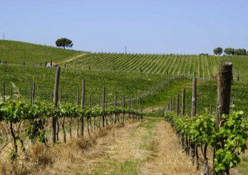 mancha vitivinicola_vinhas